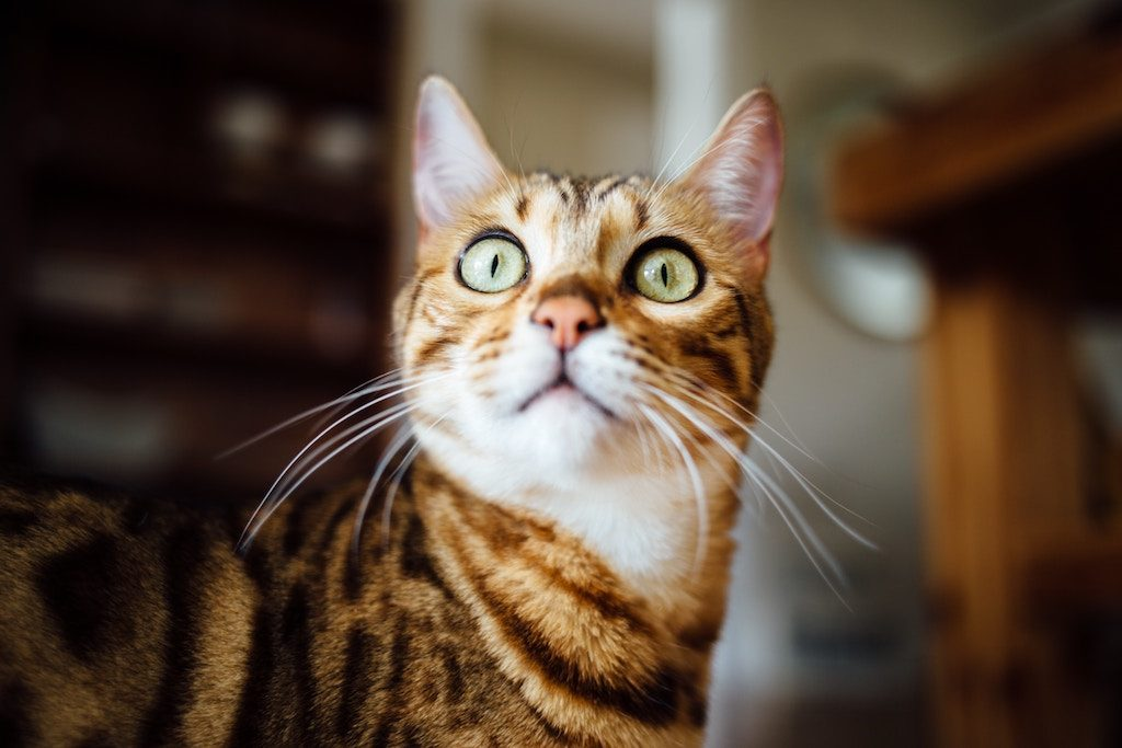 Surprised Cat